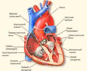 аритмия сердца фото