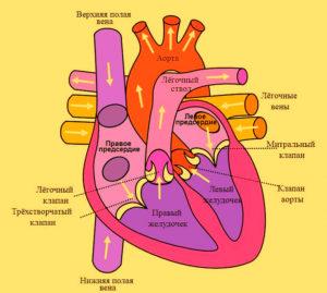 Замедленное сердцебиение причины - Здоров.Сердцем